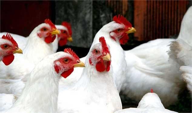 افزایش ۱۰۰۰ تومانی قیمت مرغ