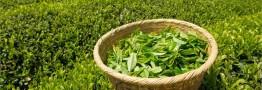 ضریب خودکفایی صنعت چای به ۲۲ درصد رسید