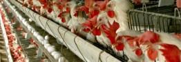 تغییرات قیمتی مرغ از ١٠ روز دیگر/قیمت جهانی نهادهها بالا رفت