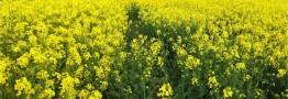 افزایش قیمت خرید گندم و کلزا در دستور کار دولت است