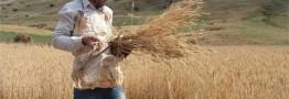 افزایش قیمت گندم تکذیب شد/ کشاورزان گندمها را انبار نکنند