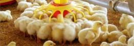 افزایش ٢٥ درصدی قیمت جوجه یکروزه سال ١٣٩٨