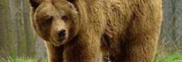 حمله خرس به یک زن 55 ساله کوهرنگی