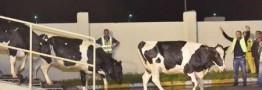 تاجر قطری انتقال چهار هزار رأس گاو را به کشورش با هواپیما آغاز کرد