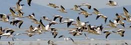 تالاب های چهارمحال وبختیاری میزبان بیش از 50 هزار پرنده مهاجر